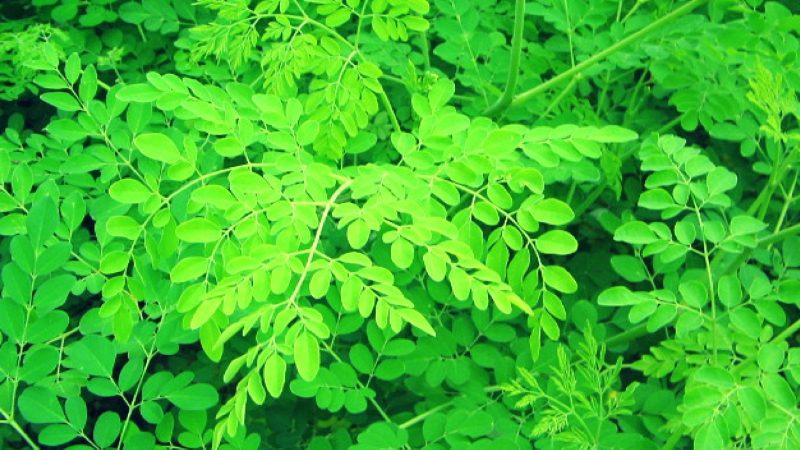Le moringa oleifera : tout savoir sur cette plante miracle